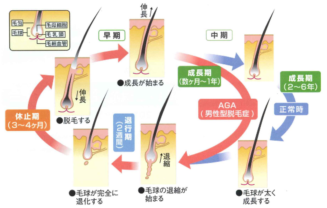特許成分(機能性ペプチド)配合により毛髪サイクルを正常化!!